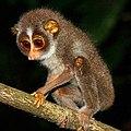 Sri Lankan Slender Loris 1.jpg