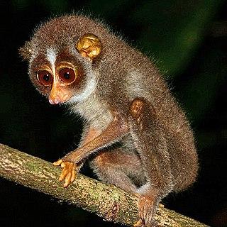Slender loris Genus of primates