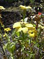 Starr-040331-0101-Zinnia peruviana-yellow form-Kanaio-Maui (24674255146).jpg