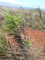 Starr-040608-0056-Conyza bonariensis-habit-Moaulanui-Kahoolawe (24685378716).jpg