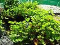 Starr-050303-4816-Marsilea villosa-habit-Maui Nui Botanical Garden-Maui (24713571356).jpg