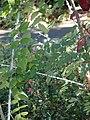 Starr-071024-0117-Rubus niveus-form a stems and leaves-Enchanting Floral Gardens of Kula-Maui (24893986835).jpg