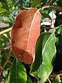 Starr-080117-2034-Cinnamomum camphora-leaves-Home Depot Nursery Kahului-Maui (24534044169).jpg