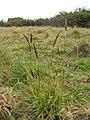 Starr-090413-9041-Anthoxanthum odoratum-habit-East Maui-Maui (24833739662).jpg