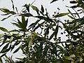 Starr-090421-6213-Olea europaea subsp cuspidata-fruit and leaves-Pukalani-Maui (24321715884).jpg