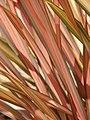Starr-090426-6325-Phormium tenax-leaves-Kulamalu Town Center Kula-Maui (24834542672).jpg