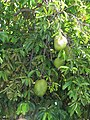 Starr-090720-3045-Annona muricata-fruit and leaves-Waiehu-Maui (24852161972).jpg