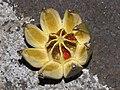 Starr-090803-3572-Clusia rosea-fruit-Waiehu-Maui (24944648326).jpg