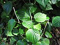 Starr-091104-8931-Piper gualiameanse-leaves and flower spikes-Kahanu Gardens NTBG Kaeleku Hana-Maui (24620720189).jpg