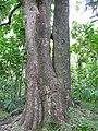 Starr-100430-2651-Mangifera indica-trunk and bark-Iao-Maui (24663380489).jpg