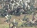 Starr-100504-5890-Opuntia ficus indica-flowering habit-Kula-Maui (25011102456).jpg