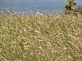 Starr-100601-6593-Anthoxanthum odoratum-blowing in wind-Olinda-Maui (25039284695).jpg