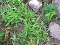 Starr-101228-5967-Zinnia peruviana-seedlings coming up after rains-Puu Moaulaiki-Kahoolawe (25059246735).jpg