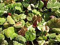 Starr-110215-1142-Hibiscus tiliaceus-habit-KiHana Nursery Kihei-Maui (24445037974).jpg