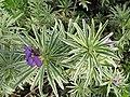 Starr-110307-2070-Erysimum linifolium-flowers and leaves-Kula Botanical Garden-Maui (24450669623).jpg