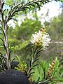 Starr-110331-4479-Melaleuca sp-flowers and leaves-Shibuya Farm Kula-Maui (24963631742).jpg