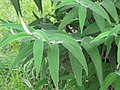 Starr-110331-4532-Buddleja salviifolia-leaves-Shibuya Farm Kula-Maui (24454997783).jpg