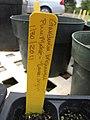 Starr-110621-6299-Gardenia brighamii-plant tag-Hawea Pl Olinda-Maui (25004035621).jpg