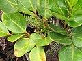 Starr-110722-7388-Polyscias oahuensis-leaves and flowers-Waihee Ridge Trail-Maui (25101009255).jpg