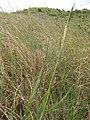 Starr-110924-9542-Paspalum dilatatum-flowers-Makamakaole-Maui (24488208353).jpg