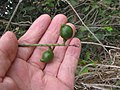 Starr-120319-3967-Macadamia integrifolia-fruit-Upper Kimo Kula-Maui (24770379949).jpg
