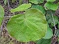 Starr-120620-7490-Actinidia deliciosa-leaves-Kula Agriculture Station-Maui (24778077929).jpg