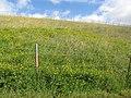 Starr-130605-4710-Lotus uliginosus-flowering habit on reservoir bank-Olinda-Maui (24915944700).jpg