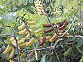 Starr-140304-0034-Caesalpinia decapetala-seeds-Kekaulike Hwy Kula-Maui (25214675036).jpg