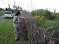 Starr-140930-2064-Solidago canadensis-flowering habit with Kim-Keokea-Maui (25153619191).jpg