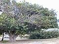 Starr 010820-0004 Ficus religiosa.jpg