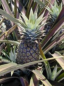 Ananaso je tero