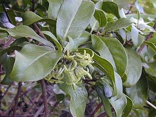 <i>Kadua</i> genus of plants