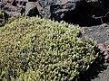 Starr 021114-0042 Leptecophylla tameiameiae.jpg