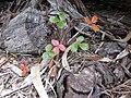 Starr 030603-0022 Fragaria chiloensis subsp. sandwicensis.jpg
