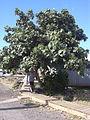 Starr 040511-0076 Hibiscus tiliaceus.jpg
