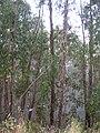 Starr 050831-7750 Eucalyptus globulus.jpg