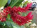 Starr 061212-2335 Alpinia purpurata.jpg