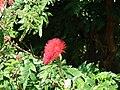 Starr 070111-3346 Calliandra haematocephala.jpg