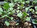 Starr 070906-8901 Brassica oleracea var. botrytis.jpg