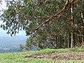 Starr 070908-9452 Eucalyptus globulus.jpg