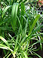 Starr 080103-1180 Agapanthus praecox subsp. orientalis.jpg