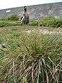 Starr 080601-5267 Eragrostis variabilis.jpg