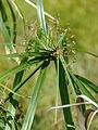 Starr 080602-5479 Cyperus involucratus.jpg