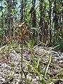 Starr 080602-5534 Cyperus rotundus.jpg