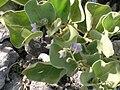 Starr 080603-9106 Solanum nelsonii.jpg