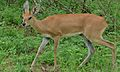 Steenbok (Raphicerus campestris) male (6001250973).jpg