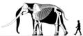 Stegodon skeletal.png