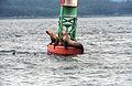 Steller Sea Lion14(js).jpg