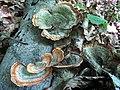 Stereum ostrea (Blume & T. Nees) Fr 649756.jpg