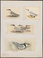 Sterna caspia - 1700-1880 - Print - Iconographia Zoologica - Special Collections University of Amsterdam - UBA01 IZ17900340.tif